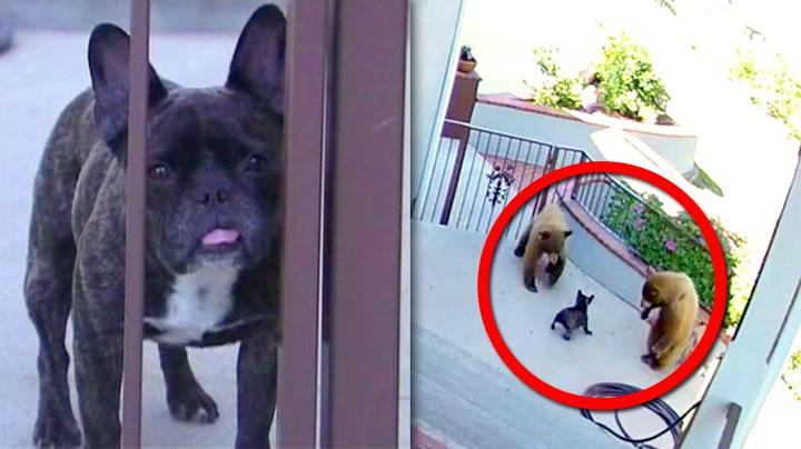 Fryktløs liten hund jaget rovdyr på dør