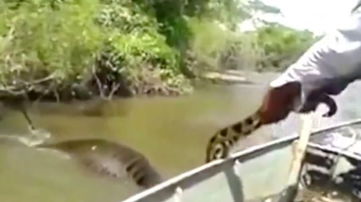 Her dras kjempeslangen opp av vannet
