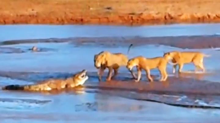 Krokodillen kjemper for livet mot løvene