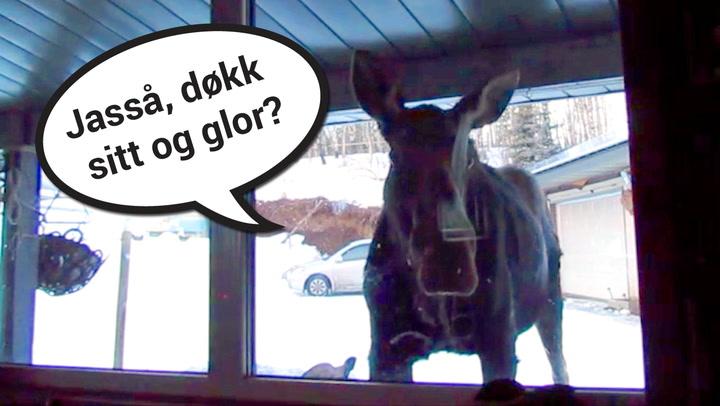 Nysgjerrig elg benket seg foran TV-en