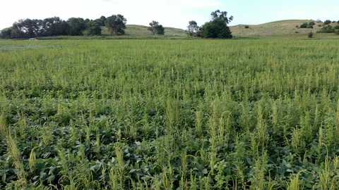 Join Agweek's Mikkel Pates as he takes a closer look at an outbreak of palmer amaranth in Grant County ND.