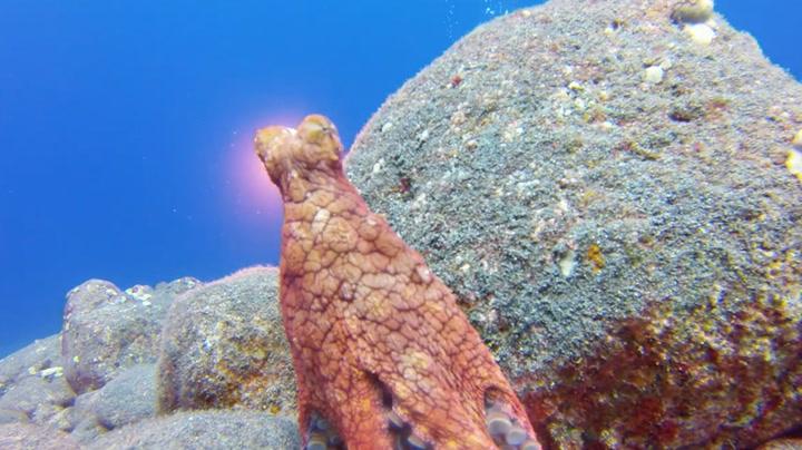 Blekksprut lekte gjemsel med dykker