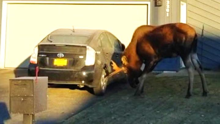 Rasende elg banket opp bilen hennes