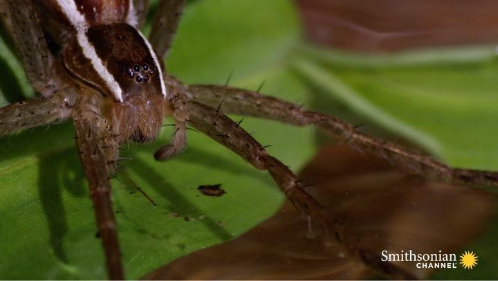 This Terrifying Spider Hunts Fish Underwater Smithsonian Magazine