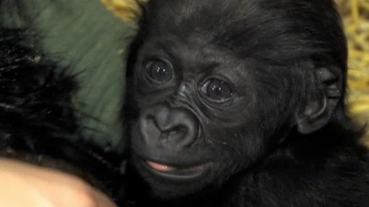 Gorillaen Gladys blir oppfostret av mennesker