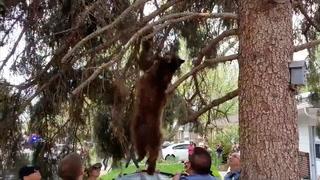 Bjørn sover i tre - faller
