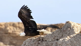 Annual eagle survey at Lake Mead and Lake Mohave – VIDEO
