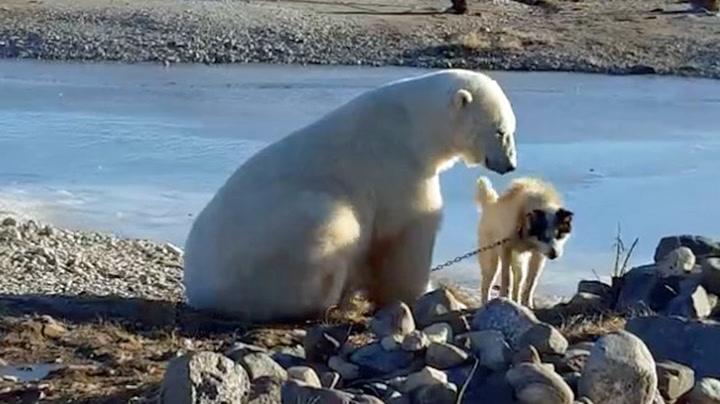 Turguide filmet unikt møte mellom vill isbjørn og hund