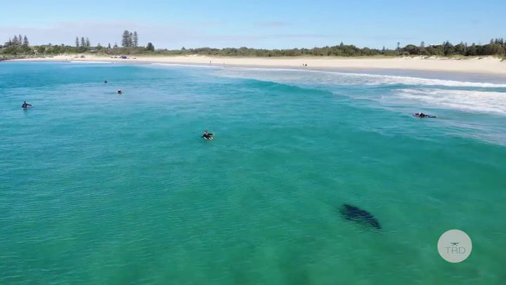Un dron graba a un tiburón blanco cerca de los surfistas en una playa de Australia