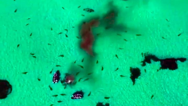 Haienes ville matkamp farger hele bukten rød av blod