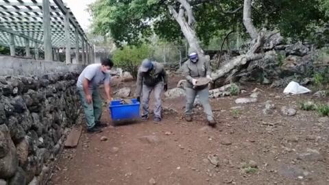 Galápagos repatrió 36 tortugas de especie en peligro nacidas en cautiverio