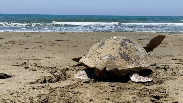 Why endangered turtles swim to a Mediterranean island to lay their eggs