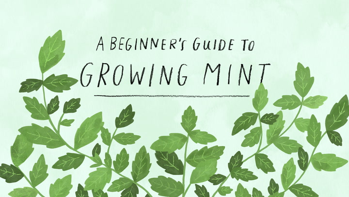 The Dos Donts of Growing Mint Apartment Therapy