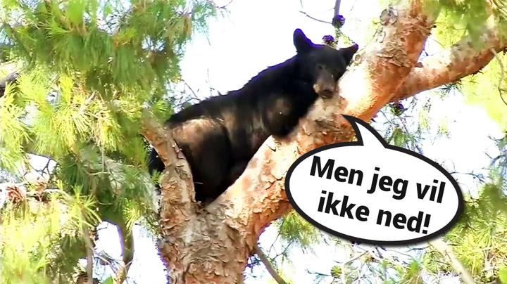 Bjørn på klatretur nektet å komme ned