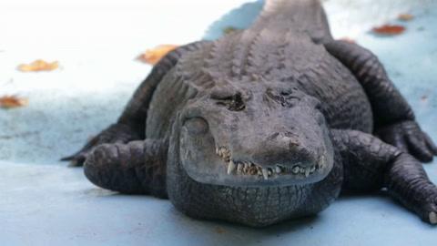 El aligátor más viejo del mundo vive en el zoológico de Belgrado