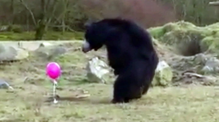 Nysgjerrige bjørner mot rosa ballong