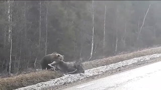 Her angriper bjørnen elgen