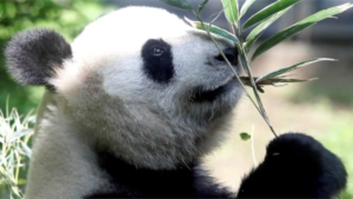 Adorable panda cubs born at Tokyo zoo