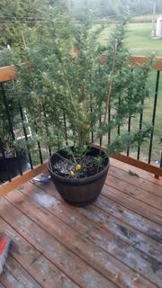 outdoor grow