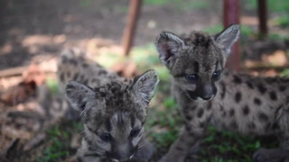 Pandemia y Cuarentena, dos pumas nacidos en zoo de México para ayudar a salvar su especie