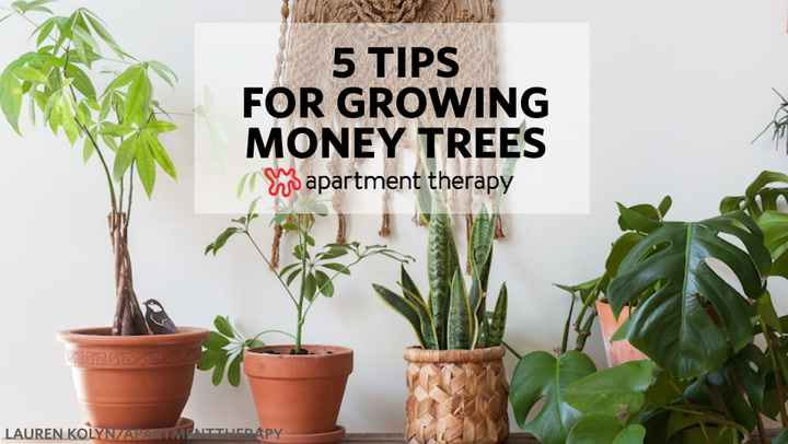 Money Tree Plant Care - Growing Plants Indoors | Apartment Therapy on money plant in house, money plant in the garden, money plant in vase,