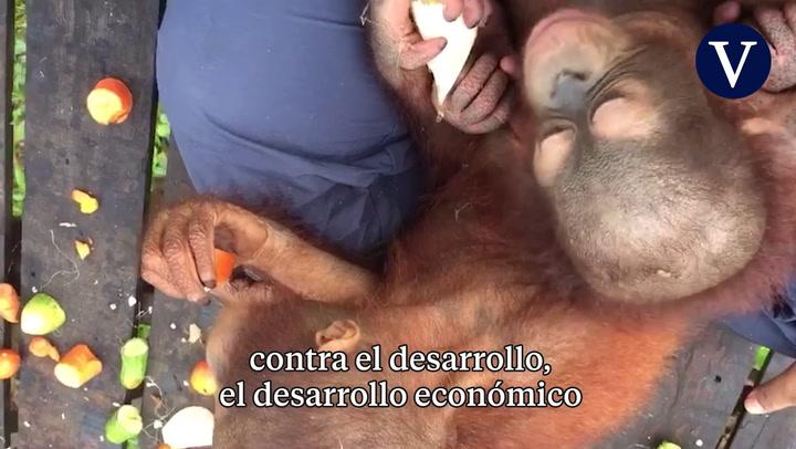 Karmele Llano, la veterinaria que rescata orangutanes en Borneo