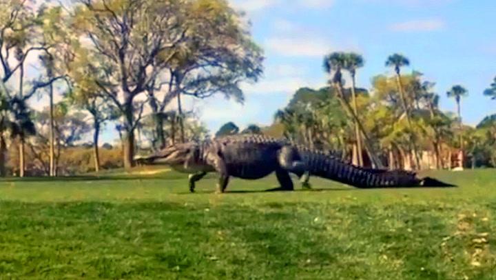 Enorm alligator kapret golfbanen