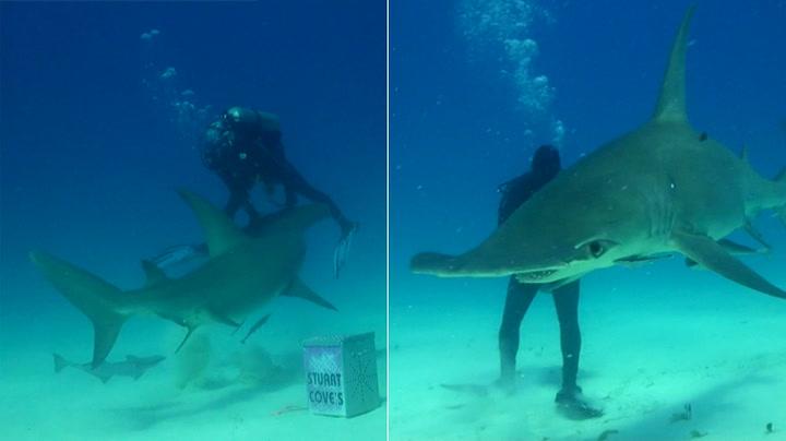 Her angriper hammerhaien