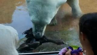 Isbjørn forskrekker tilskuerne