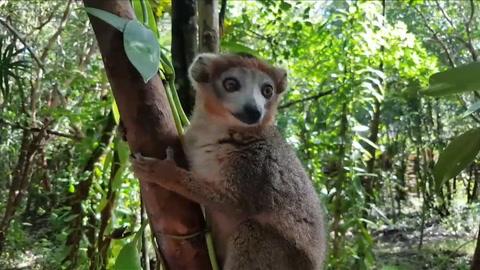 Cazadores amenazan a lémures y bosques de Madagascar