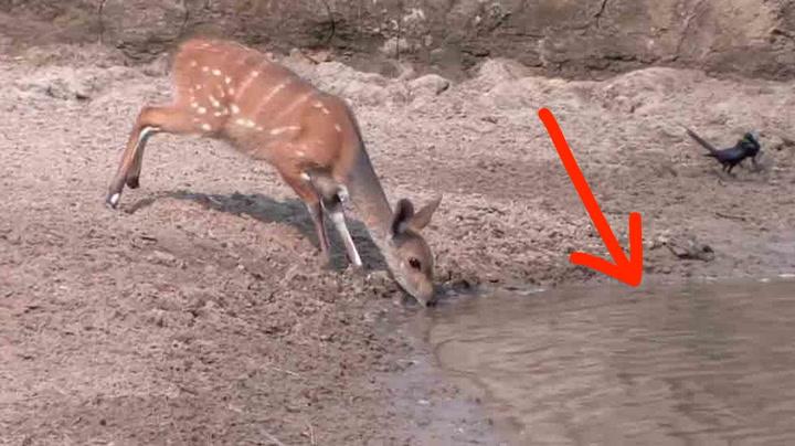 Ingen av dyrene ser faren som truer i vannet