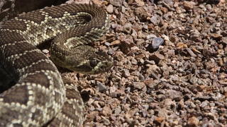 It's Rattlesnake Season