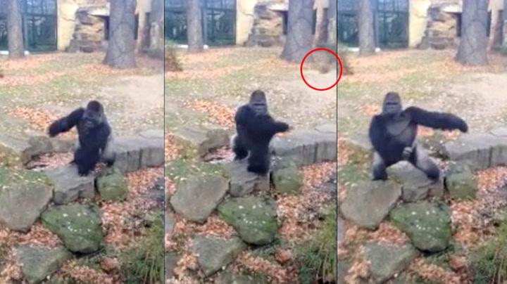 Sur gorilla tok hevn på turistene