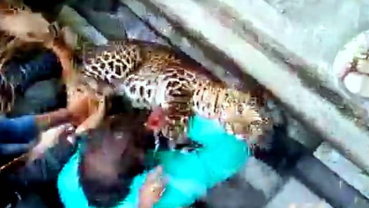 Den blodtørstige leoparden skaper full panikk