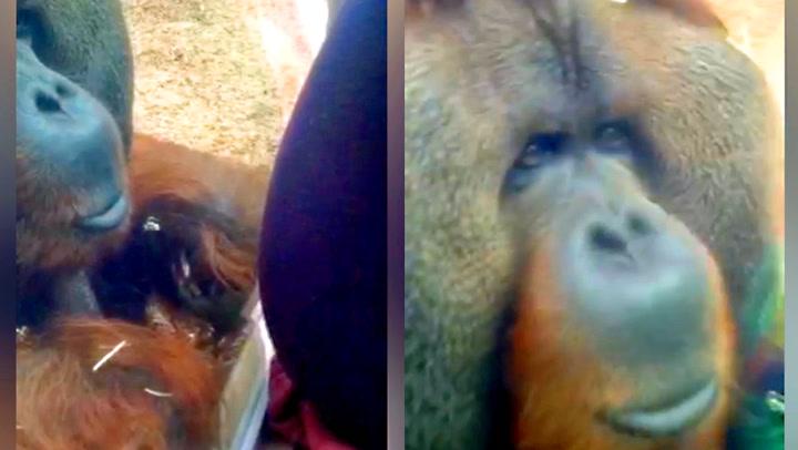 Moren viser frem gravidmagen – se orangutangens reaksjon