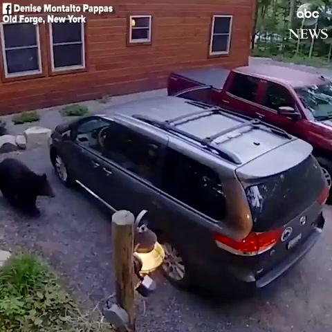 Una osa invita a sus cachorros a dar un paseo en miniván