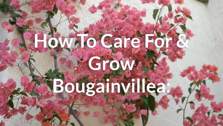 How To Care For and Grow Bougainvillea A Flowering Machine