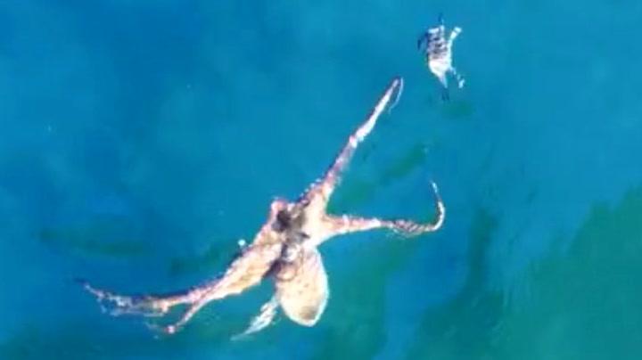 Krabbens desperate flukt fra sulten blekksprut