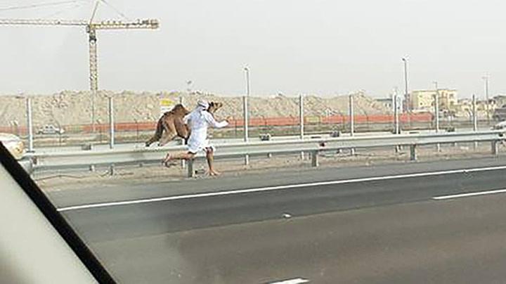 Løp barbeint etter kamel på motorvei