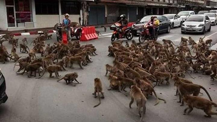 """กลับมาแล้ว.. """"สงครามวานร"""" ภาคสอง ฝูงลิงลพบุรียกพวกตีกัน"""
