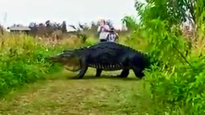Gigantisk alligator filmet i Florida