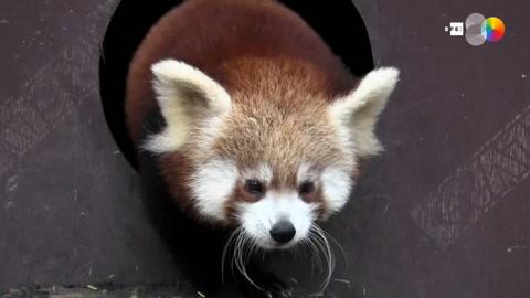Conoce a las estrellas del zoo de Zagreb, dos cachorros de panda rojo