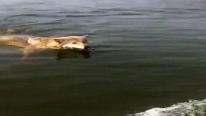 Møtte ulv på svømmetur