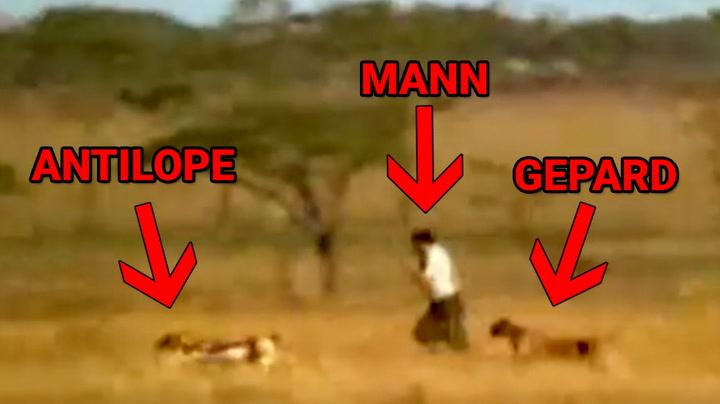 Sulten mann stjeler bytte fra geparden i fart