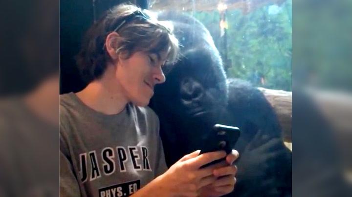 Han viser gorillaen mobil-bilder – se reaksjonen