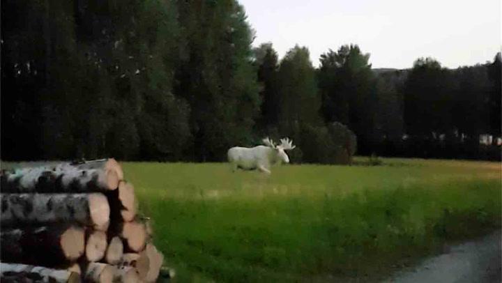 Å jävlar! Svenske Erik fikk besøk av skogens albinokonge