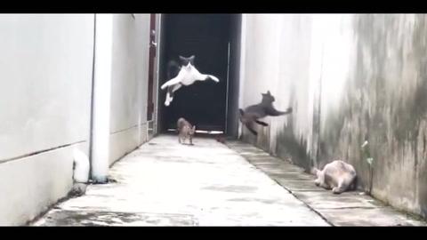 El verdadero gato volador