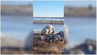 Den dystre sannheten om isbjørnvideoen