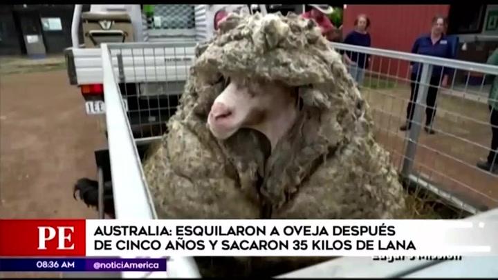Australia: oveja salvaje perdida hace cinco años, fue encontrada 35 kilos de lana