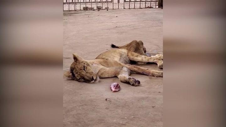 Consternación por unos leones muriendo de hambre en Sudán